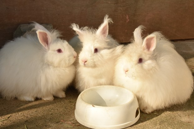 幻のウサギ:「日本アンゴラ」神戸で復活 繁殖続け30羽 - 毎日新聞