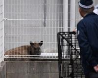 市街地に迷い込んだニホンカモシカ=愛知県尾張旭市で2017年5月12日午後1時9分、木葉健二撮影