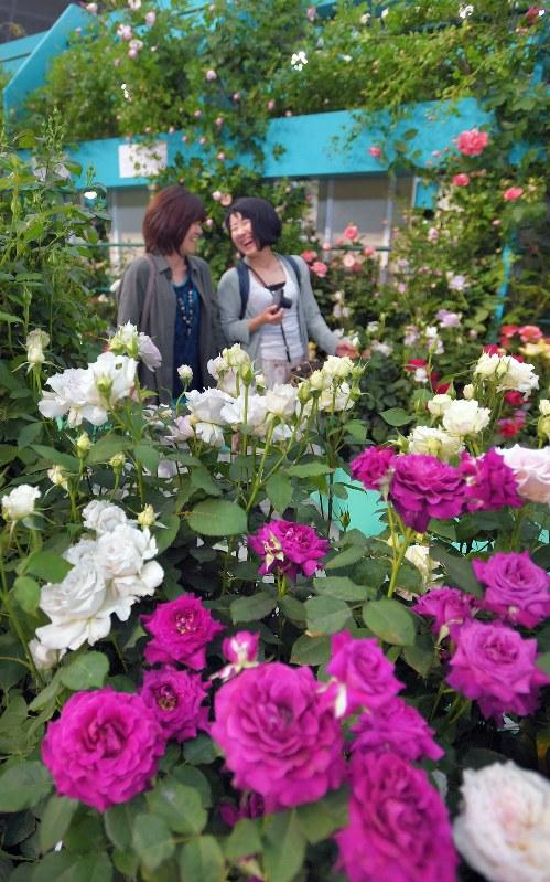 Photo Journal: Radiant roses - The Mainichi