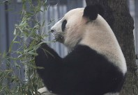 Female giant panda Shin Shin is seen at Ueno Zoological Gardens in this March 2, 2017 file photo. (Mainichi)