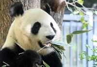 妊娠の兆候が見られるジャイアントパンダの雌のシンシン=東京都台東区の上野動物園で2017年5月19日午前8時47分、竹内紀臣撮影