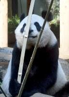 口を器用に使って竹を割るジャイアントパンダの雌のシンシン=東京都台東区の上野動物園で2017年5月19日午前8時49分、竹内紀臣撮影
