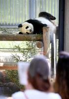 来園者の前で愛らしい姿を見せるジャイアントパンダの雌のシンシン=東京都台東区の上野動物園で2017年5月19日午前10時1分、竹内紀臣撮影