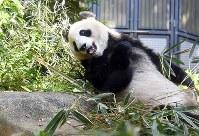 展示スペースでくつろぐジャイアントパンダの雌のシンシン=東京都台東区の上野動物園で2017年5月19日午前9時14分、竹内紀臣撮影