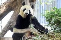 笹を食べるジャイアントパンダの雌のシンシン=東京都台東区の上野動物園で2017年5月19日午前8時48分、竹内紀臣撮影