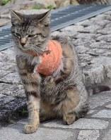 トラバサミにかかり、左前脚を切断した猫。患部には包帯が巻かれていた=広島県福山市鞆町鞆で、真下信幸撮影