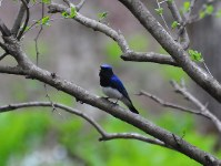 A blue-and-white flycatcher is seen singing in Shinano, Nagano Prefecture, in this photo taken on May 10, 2017. (Photo courtesy of the C.W. Nicol Afan Woodland Trust)