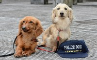 警察犬の仲間入りを果たしたダックスフントのミキティ(メス4歳、右)。昨年、同犬種で初の警察犬となったベッキー(左)=熊本市中央区の熊本県警本部で、2014年4月3日午前11時12分、柿崎誠撮影