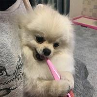 自分で歯磨きをするポメラニアンのサクラ(メス1歳)=東京都江東区で2017年5月7日、平野啓輔撮影
