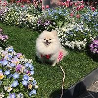 散歩中に笑顔を見せるポメラニアンのサクラ(メス1歳)=横浜市中区山下町の山下公園で2017年4月29日、平野啓輔撮影