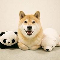 小野慎二郎さんがインスタグラムのタイムラインに投稿した柴犬まるの「決めポーズ」。いいね!は約9万件=小野さん提供