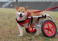 車いすを使って歩くすみれ=「すみれちゃん応援団」提供