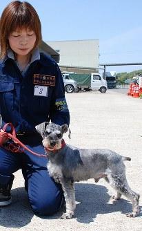 嘱託警察犬競技会に初めて参加したミニチュアシュナウザーの「くぅ」=和歌山市で2010年4月29日午前11時15分、岡村崇撮影