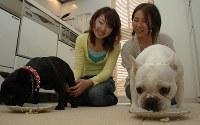 猛烈な勢いで手作り食を平らげるフレンチブルドッグのこもも(左)たち=2008年5月7日、田後真里撮影