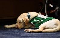 介助犬のラッキー=東京・永田町で2017年5月22日、中村藍撮影