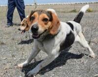 バードストライクを減らすため、においをつけながら歩き回る犬たち=関西国際空港で2017年4月25日午前10時40分、井川加菜美撮影