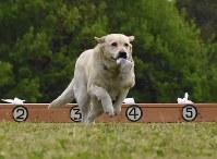 臭気選別の部で布を選び持ってくる嘱託警察犬=大和郡山市で2017年4月20日午後1時47分、郡悠介撮影