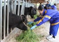 一般家庭に民泊し、牛の餌やりを体験する生徒たち