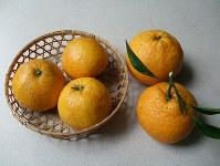江戸時代の味を伝える鳴門ミカン(左3個)。右の2個は夏ミカン