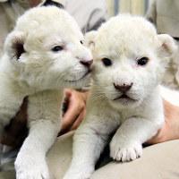顔を寄せ合うホワイトライオンの赤ちゃん=兵庫県姫路市豊富町神谷の姫路セントラルパークで2017年5月30日午後3時17分、幸長由子撮影