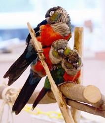 アカハラウロコインコの3きょうだい=奈良県生駒市の「とりCafe Bird cage」で、中津成美撮影