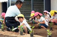 グローバルゲートの屋上庭園で、落花生の苗を植える園児たち=名古屋市中村区のささしまライブ24地区で2017年6月1日、黒尾透撮影