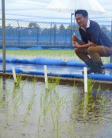 Genome-edited rice plants whose outdoor trial cultivation has begun for the first time in Japan are pictured in Tsukuba, Ibaraki Prefecture, in this recent photo. (Mainichi)