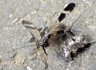 ガガンボモドキと近縁のヤマトシリアゲ。雌(右奥)がプレゼントされた虫(右手前)を食べている間に、雄が交尾している