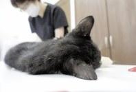去勢手術の後、野良猫の足のけがを診る獣医師=東京都杉並区梅里2のねこけん動物病院で、曹美河撮影
