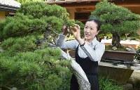 盆栽の手入れをする山田香織さん=さいたま市北区盆栽町の清香園で、丸山博撮影