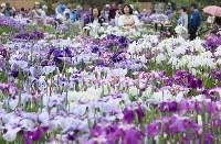 ハナショウブが見ごろを迎えた堀切菖蒲園=東京都葛飾区で2017年6月5日、佐々木順一撮影