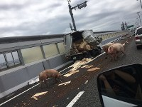 A group of pigs that escaped after an accident on the Ikeda Route of the Hanshin Expressway are seen in Ikeda, Osaka Prefecture, on June 8, 2017, in this photo provided to the Mainichi.