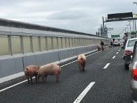阪神高速池田線で起きた事故で逃げ出した豚の集団=大阪府池田市桃園で(提供写真)