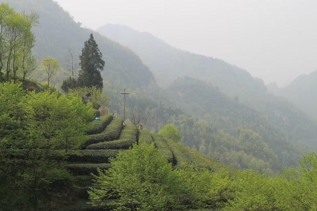 中国にある馨華の契約茶畑