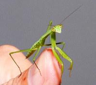 コツをつかめばうまく指に乗せることもできる=大阪府箕面市の昆虫科学教育館で、福家多恵子さん撮影