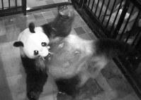 生まれたばかりの赤ちゃんを口にくわえ世話をするジャイアントパンダの雌シンシン=東京都台東区の上野動物園で2017年6月12日(東京動物園協会提供)