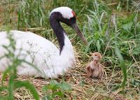 卵からかえったばかりのタンチョウのヒナ=岡山県和気町田賀の県自然保護センターで、同センター提供
