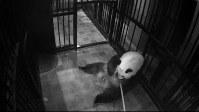 赤ちゃんを右腕に抱きながら、出産後初めて水分をとるジャイアントパンダのシンシン=東京都台東区の上野動物園で2017年6月13日、東京動物園協会提供