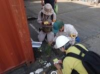 神戸港でヒアリの調査をする神戸市職員ら=2017年6月16日、神戸市提供