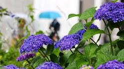 雨が降る中咲くアジサイ=大阪市北区で2017年6月7日