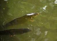 池の中で泳ぐコイ=長野県信濃町で、C・W・ニコル・アファンの森財団提供