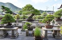 黒松の松盆栽が並ぶ平松青松園=高松市国分寺町で、小川和久撮影