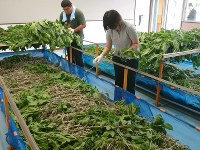 Workers clip mulberry leaves and feed them to silkworms at Tomioka mayu kobo in the city of Tomioka, Gunma Prefecture, on June 1, 2017. (Mainichi)