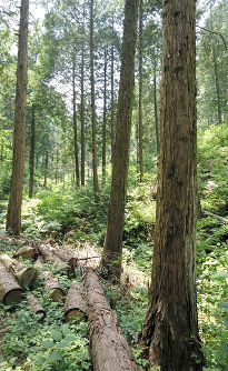The Japanese cypress trees shown here on Mount Nakano in the Osawa River headwaters region of Sagamihara, Kanagawa Prefecture, in June 2017, are all under 98 years old. (Mainichi)