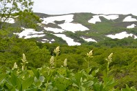 焼石連峰をバックにコバイケイソウなどが咲く上沼=奥州市で