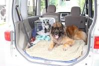 レオンベルガー(右)とボストンテリアが一緒にお出かけ。事故防止のため小型犬はケージに入れるとよい