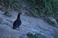 夕暮れ時に巣に戻ってきたウトウ=「北海道海鳥センター」石郷岡卓哉さん撮影