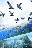 Penguins appear to fly overhead as they swim in a tank as part of a recently renovated outdoor area at Sunshine Aquarium in Tokyo's Toshima Ward on July 5, 2017. (Mainichi)