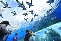 リニューアルされた屋外エリアの水槽で、頭上を飛び交うように泳ぐペンギン=東京都豊島区のサンシャイン水族館で2017年7月5日午前10時5分、宮間俊樹撮影