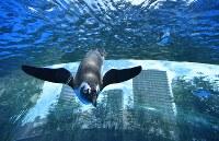 リニューアルされた屋外エリアの水槽で、頭上を飛び交うように泳ぐペンギン=東京都豊島区のサンシャイン水族館で2017年7月5日午前10時50分、宮間俊樹撮影